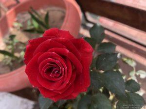 proper-red-rose-bouquet
