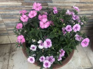 purple-dianthus-pot