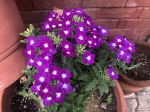 purple-verbena-bunch