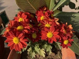 red-guldaudi-chrysanthemum