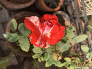 rose-double-color