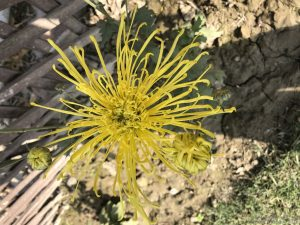 spider-chrysanthemum-yellow