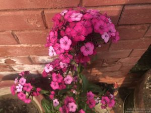 sweet-william-in-pot