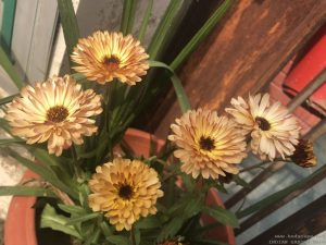 unusual-calendula-brown