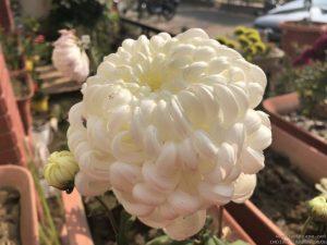 white-ball-chrysanthemum