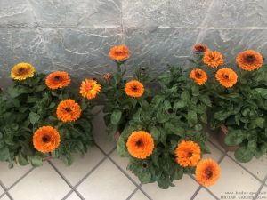winter-flowers-calendula-pots