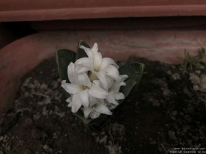 winter-flowers-hyacinth-white