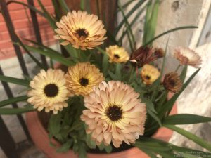 winter-flowers-skin-color-calendula