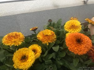 yellow-calendula-bunch