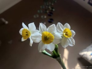 yellow-white-narcissus-indoor