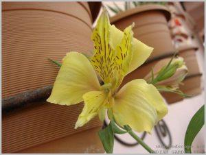 summer-flowers-india-alstroemeria