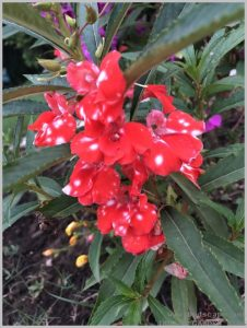 summer-flowers-india-balsam