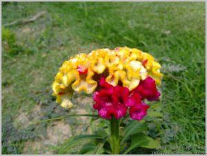 summer-flowers-india-cockscomb