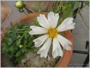 summer-flowers-india-cosmos-seashells