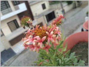 summer-flowers-india-gaillardia