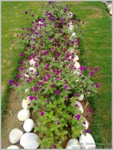 summer-flowers-india-gomphrena