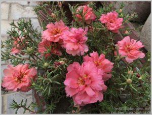 summer-flowers-india-portulaca