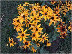 summer-flowers-india-rudbeckia