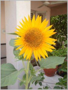 summer-flowers-india-sunflower