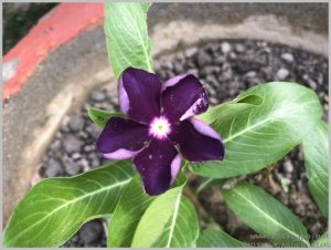 summer-flowers-india-vinca