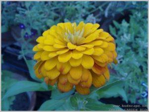 summer-flowers-india-zinnia