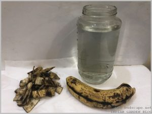 banana-peel-uses-increase-flowers-1