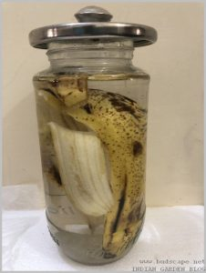 banana-peel-uses-increase-flowers-3