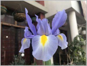 blue-iris-close-up