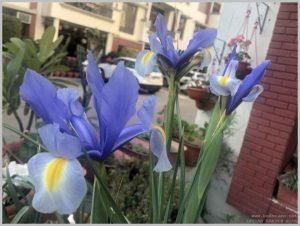 grow-bearded-iris
