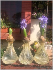 grow-hyacinth-water