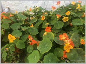 grow-nasturtium-from-seeds-3