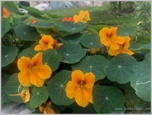 grow-nasturtium-from-seeds-8