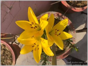 lilium-flower-yellow