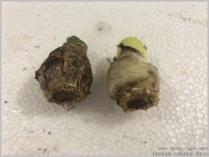 propagate-hyacinth-bulbs-after-flowering-10