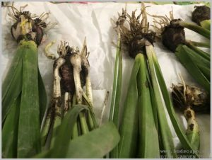 propagate-hyacinth-bulbs-after-flowering-2
