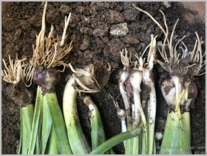 propagate-hyacinth-bulbs-after-flowering-6