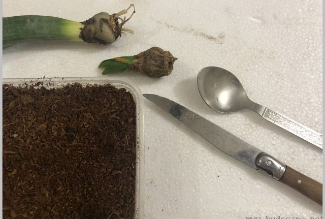 propagate-hyacinth-bulbs-after-flowering-9