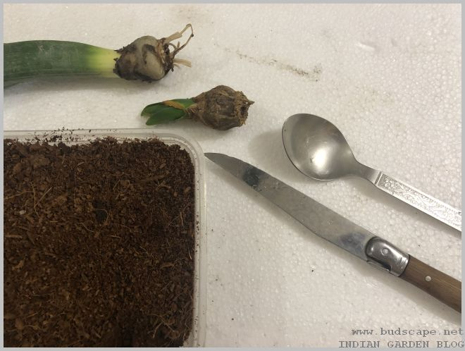 How To Propagate Hyacinth Flower Bulbs Gardening For Beginners
