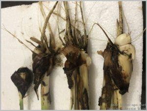 propagate-iris-bulbs-after-flowering-2