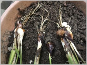 propagate-iris-bulbs-after-flowering-4