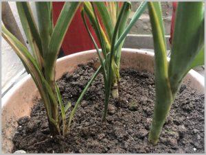 propagate-iris-bulbs-after-flowering-5