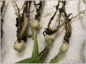propagate-lilium-bulbs-after-flowering