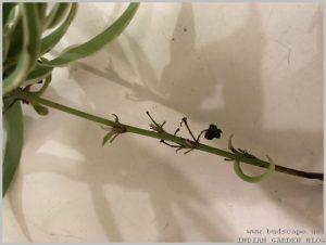 propagate-spider-plant-layering-3
