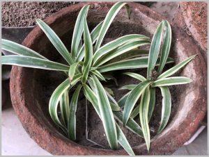 propagate-spider-plant-layering-6
