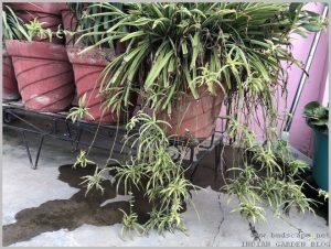 propagate-spider-plant-pups