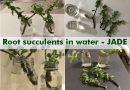 root succulents water jade